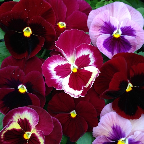 Pansy Seeds 'The Reds' Mixed