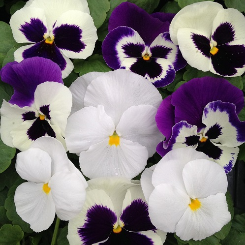Pansy Seeds 'The Whites' Mixed