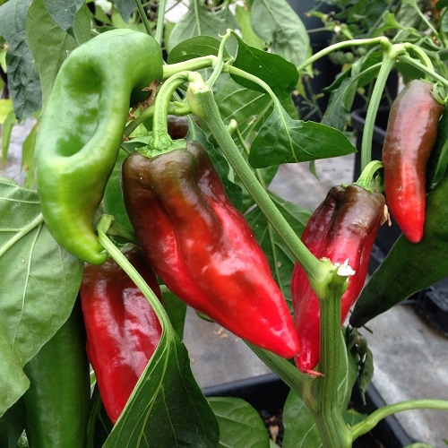Sweet Pepper Diablo