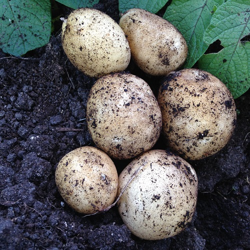 Carlingford Potato Seed