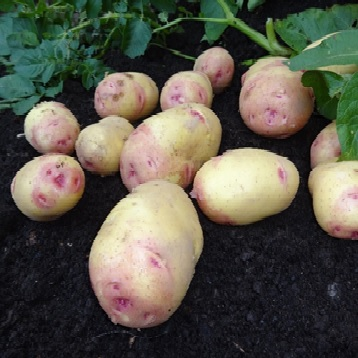Carolus Seed Potatoes