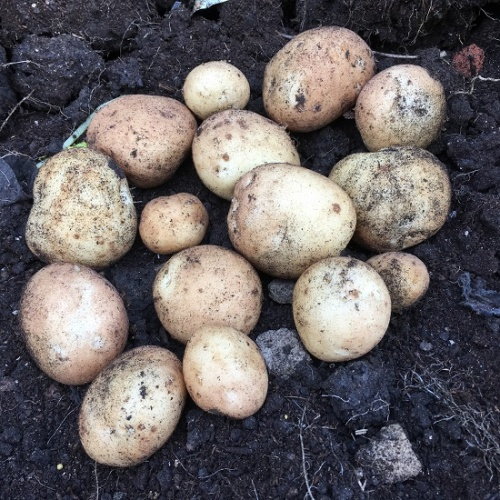 Casablanca Potato Seed