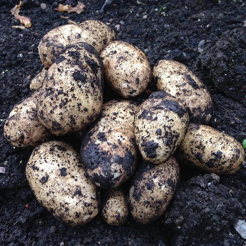 Christmas Potato Seeds -  Charlotte