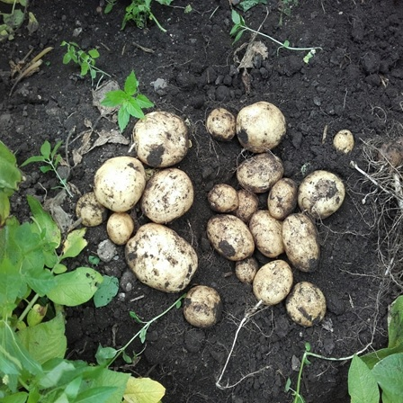 Kingsman Seed Potatoes