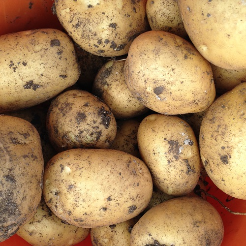 Marfona Potato Seed