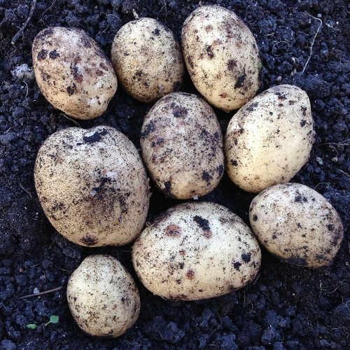 Maris Piper Potato Seeds