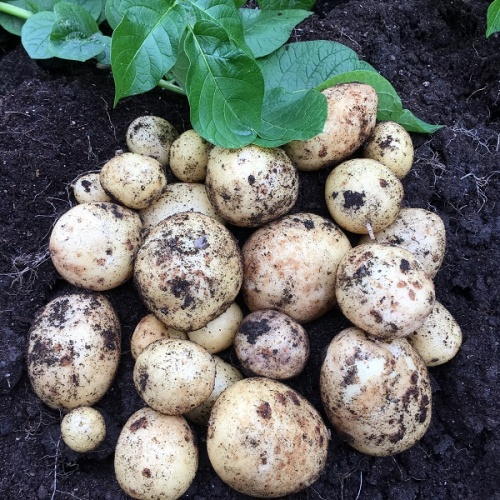 Premiere Seed Potatoes