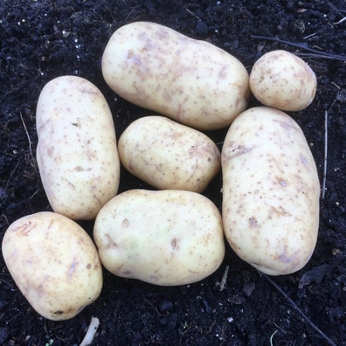 Sagitta Seed Potatoes