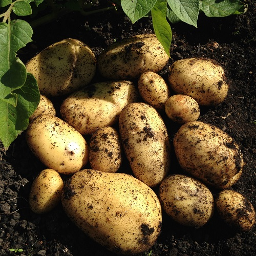 Vivaldi Potato Seed