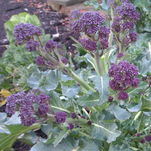 Broccoli Seeds Purple Sprouting Early
