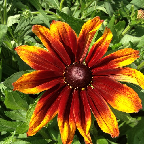 Rudbeckia Autumn Colours