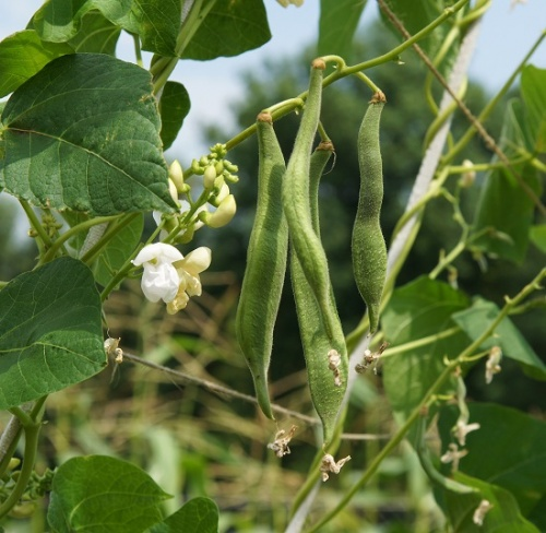 Runner Bean White Lady