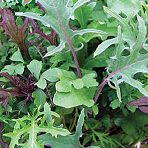 Salad Leaves Frilly Leaf Mixed