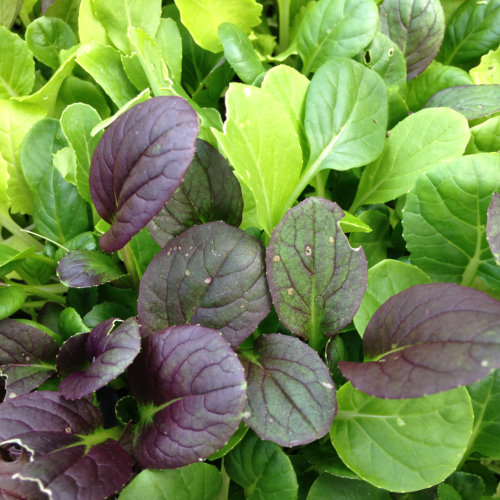 Salad Leaves Pak Choi Colour Crunch