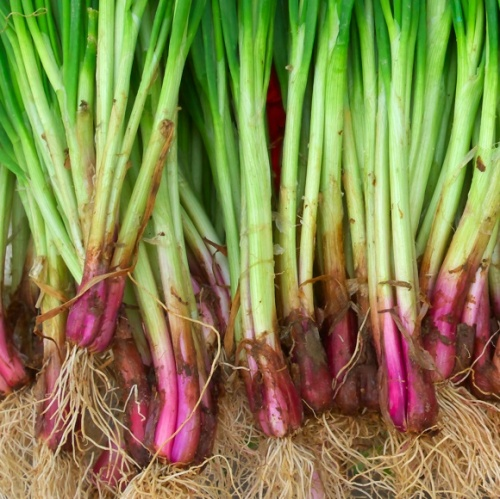 Spring Onion Redmate
