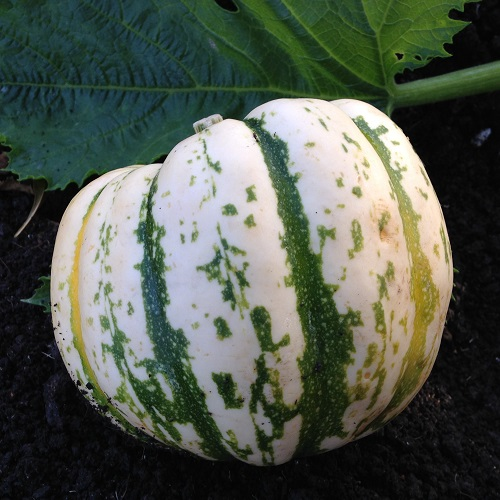 Winter Squash Harlequin