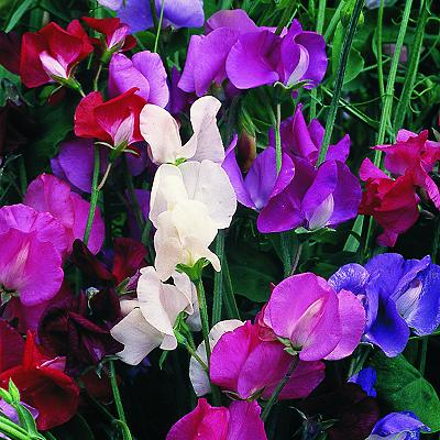 Sweet Pea Spencer Wave Mixed
