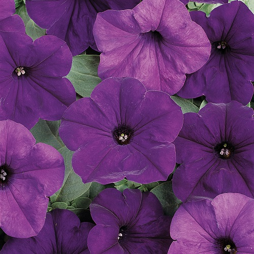 Trailing Petunia Seeds - Blue