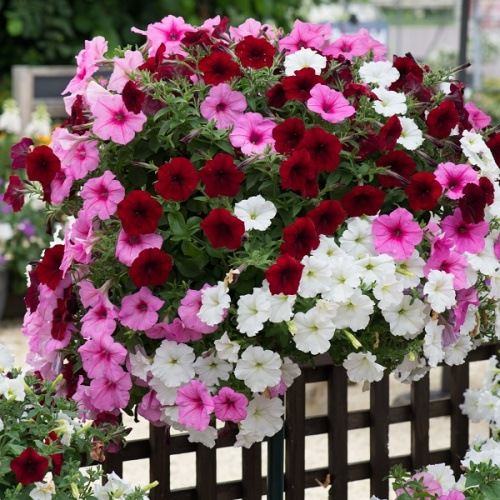 Trailing Petunia Seeds - Sweetheart Mixed