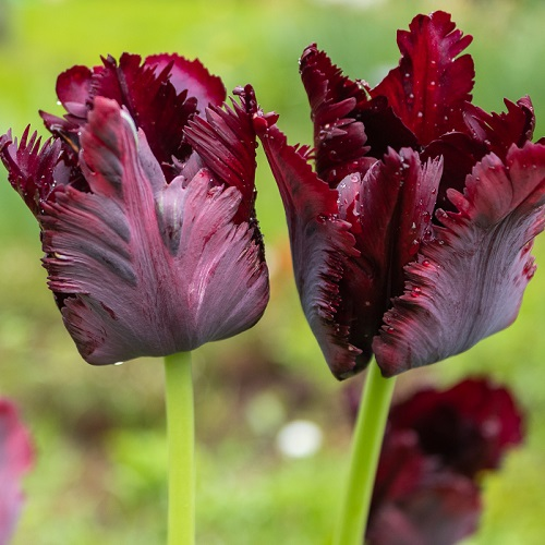 Tulip Bulbs - Black Parrot