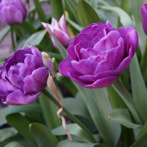 Tulip Bulbs - Blue Diamond