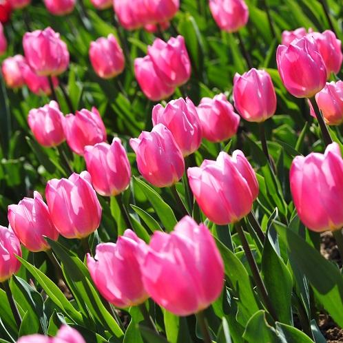 Buy Triumph Tulips White Dream 25 Bulbs Or Buy In Bulk