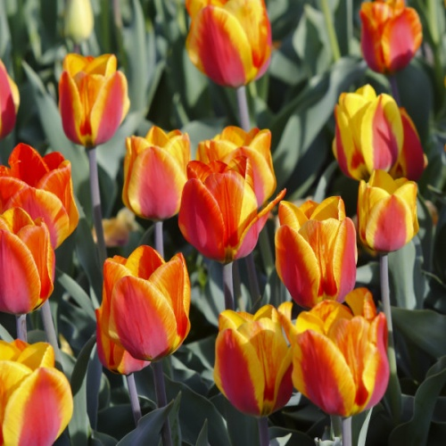 Tulip Bulbs - Flair