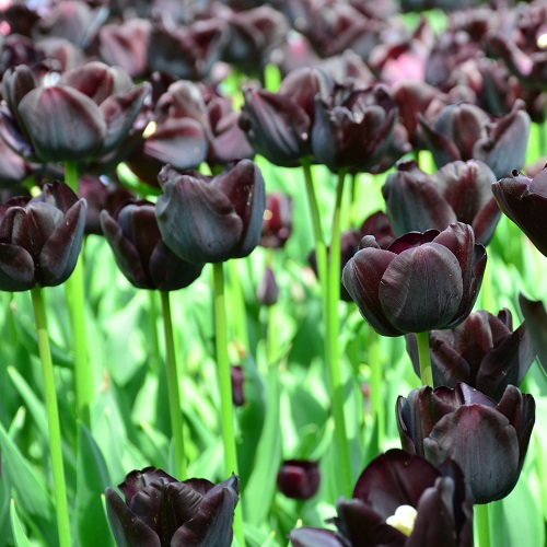Tulip Bulbs - Queen of Night
