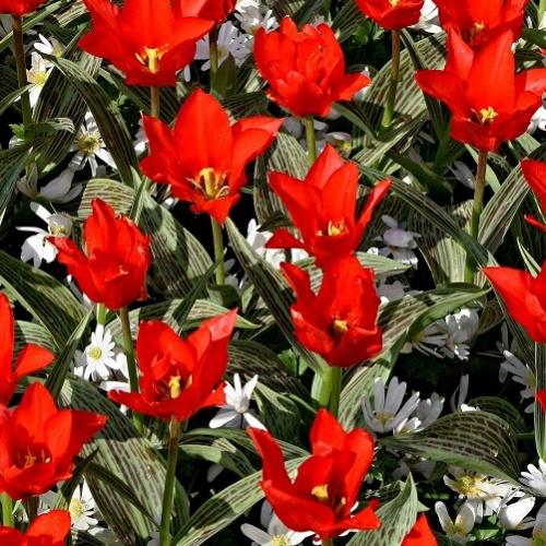 Buy Dwarf Tulips Red Riding Hood 25 Bulbs Or Buy In Bulk