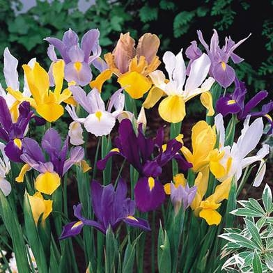 Iris Bulbs -  Dutch Mixed
