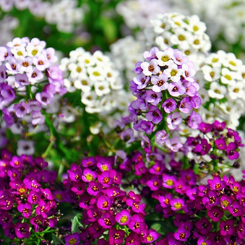 Alyssum Seeds Mixed