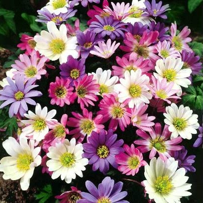 Anemone Bulbs -  Blanda MIxed