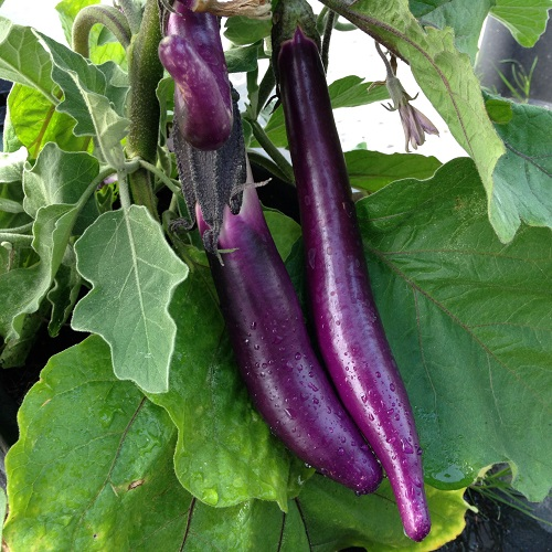 Aubergine Farmers Long