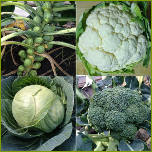 Clubroot Resistant Brassica Collection