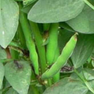 Broad Bean Imp. Green Longpod