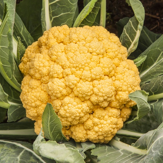 Cauliflower Sunset