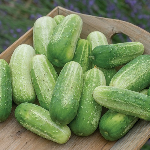Gherkin Cucumber Picklebush