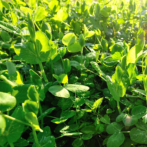 Forage Pea Green Manure Seeds