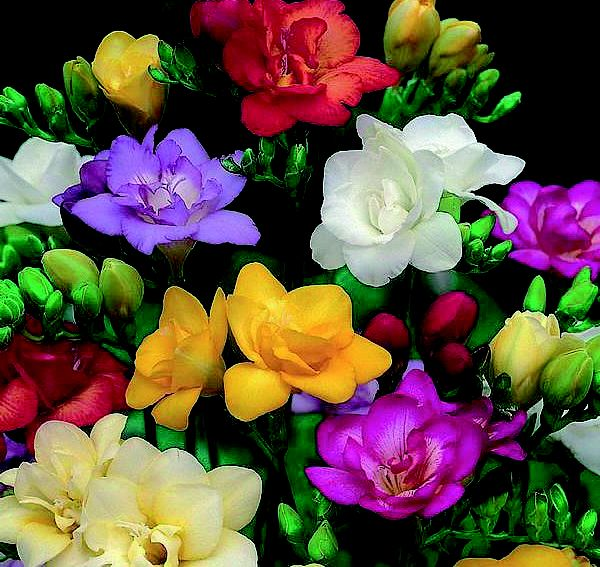 Freesia Bulbs -  Double Mixed