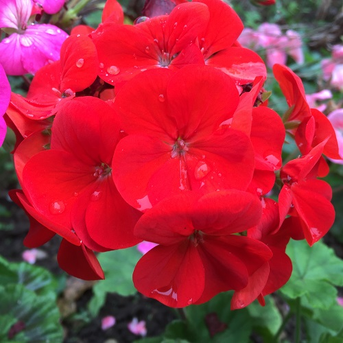 Geranium Seeds - Red