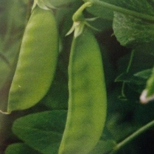 Mange Tout Oregon Sugar Pod