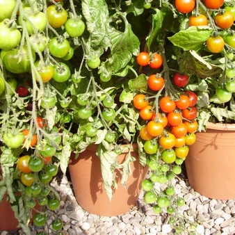 Tomato Collection - Outdoor