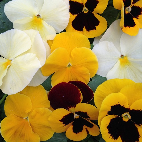 Pansy Seeds 'The Yellows' Mixed