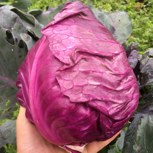 Cabbage Redruth