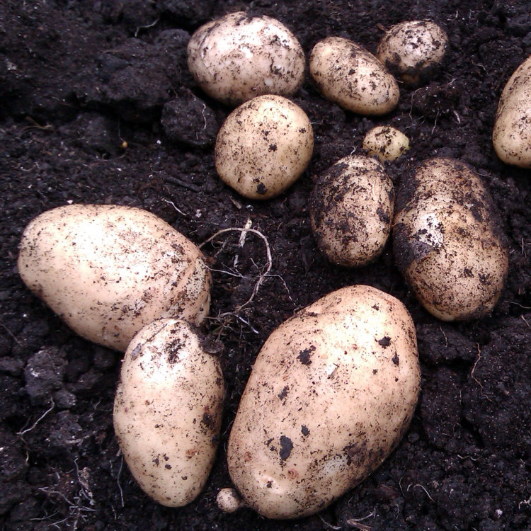 Pentland Javelin Potato Seeds