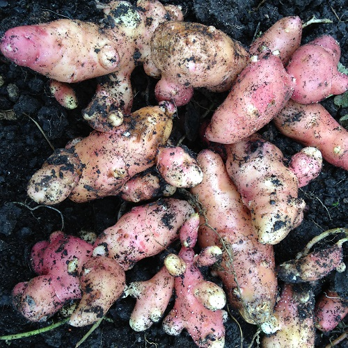 Pink Fir Apple Potato Seed