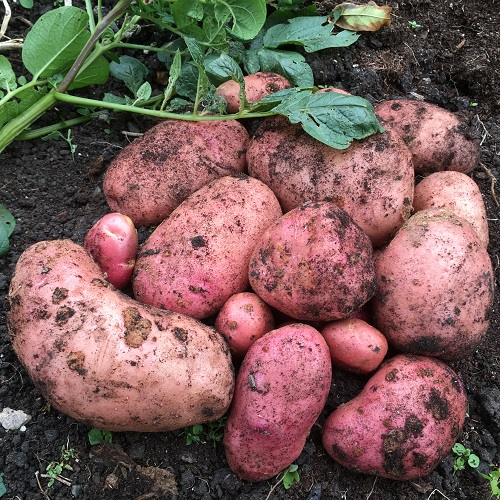 Blight Resistant Seed Potatoes - 2 Varieties