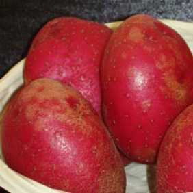 Red Duke of York Potato Seed