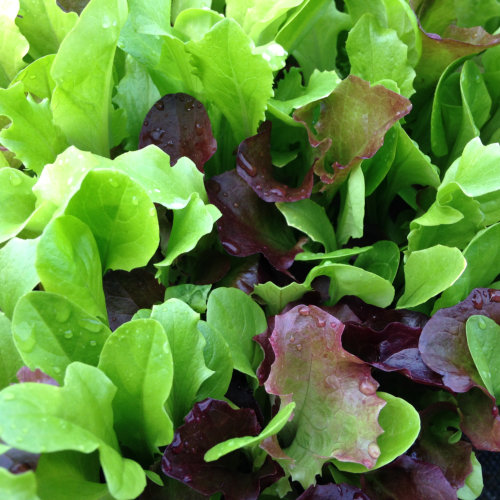 Salad Leaves Mesclun Mixed