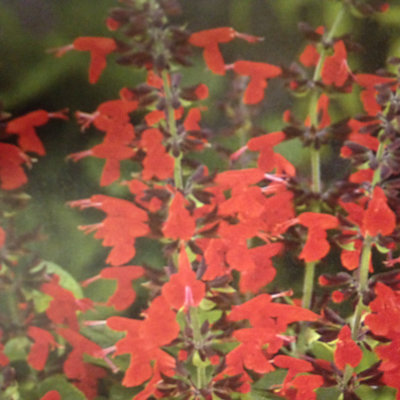 Salvia Forest Fire